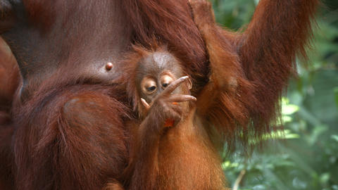 Baby Orangutan Clings to Mother while Eating Fruit at the Zoo Live Action