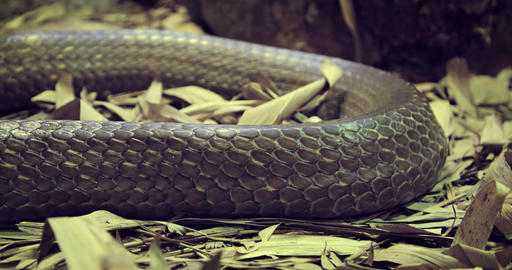 Closeup of a Large Snake with Brown Skin Image
