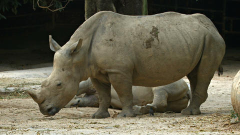 Mature White Rhinoceros at the Zoo Footage