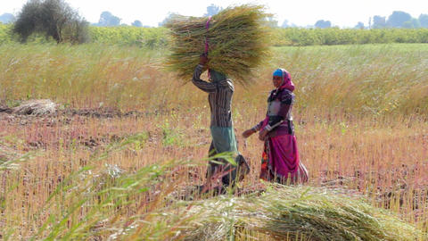 Indian rural women are working in the field Footage