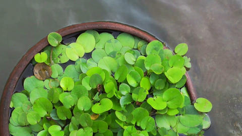Green tropical aquatic plant in clay pot under water Live Action