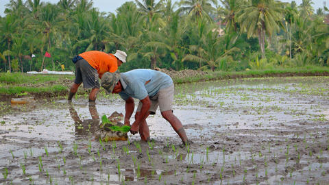 Local workers planting rice on a Balinese plantation in Ubud Footage