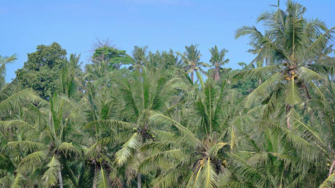 Tops of Coconut Trees near a Tropical Beach Footage