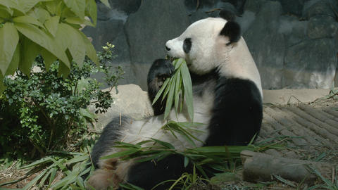 Panda eats bamboo leaves and shoots Footage