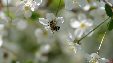 bee pollinating flowering trees spring flowers slow... Stock Video Footage