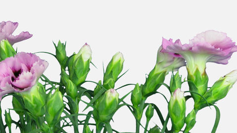 Time-lapse of growing pink (Dianthus) flower with ALPHA channel Footage