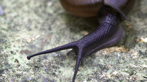 Garden Snail on a Rock in Extreme Closeup. FullHD footage Footage