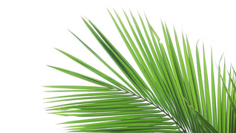 Coconut Palm Fronds Isolated on a White Background Footage