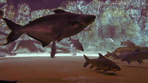 Panganus and other big fish in a large aquarium. UltraHd 4k video Footage