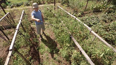 Man Sprays Tomato Vines in Garden with Pesticide Footage