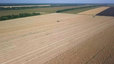 Harvesting of corn. Harvester gather corn from the field. Russia, From Dron Footage