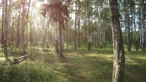 Sunbeams Filter through Tree Branches in this Temperate Forest. with Sound Footage