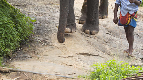 Local Handler Guides Chain Hobbled Elephant down a Wilderness Trail Footage