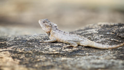 Garden Lizard Rests on a Rock and Looks Around Footage
