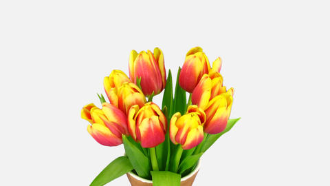 Time-lapse of opening red-yellow tulips in a vase with ALPHA channel Footage