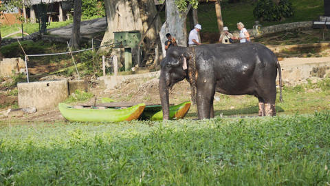 Captive Elephant Splashes Himself with Water to Cool Off in Sri Lanka Footage