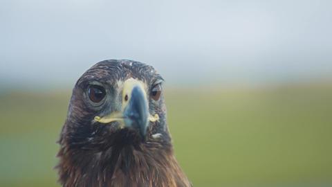 Golden Eagle Looks Around Footage
