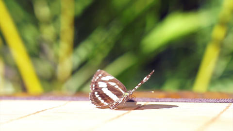Butterfly lying still on table ready to fly off in morning sun Footage
