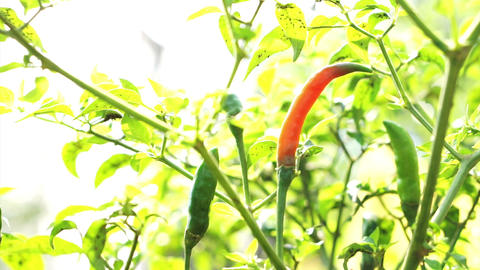 Organic Spicy Red Cayenne chilli pepper ripe up on plant. Red contrast on green  Live Action