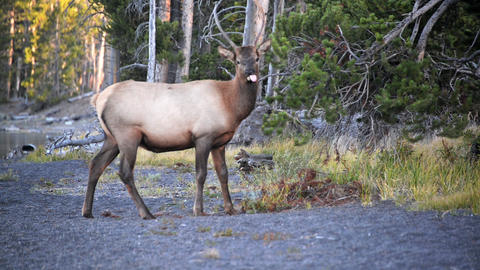 Young Elk in Yellowstone Footage