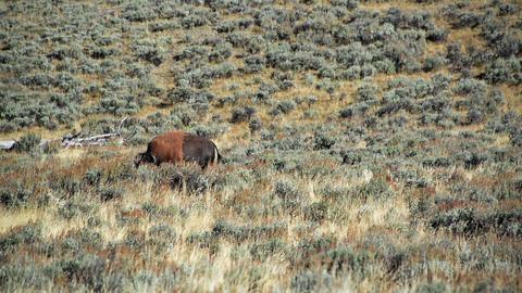 Bison Walking By Footage
