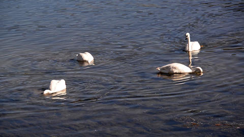 Trumpeter Swan Group Footage