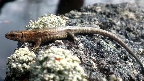lizard warmed in sun on island Footage