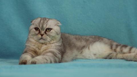 Scottish fold cat Footage