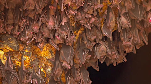 Bali. Indonesia. A flock of bats on a rock. Territory of Pura Goa Lawah Temple Footage