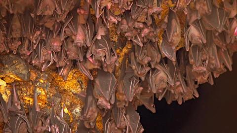 Bali. Indonesia. A flock of bats on a rock. Territory of Pura Goa Lawah Temple Footage