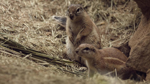 Wild Ground Squirrel near his hole Footage