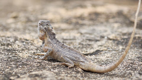 Garden Lizard Poses on a Rock before Running Away. FullHD video Footage