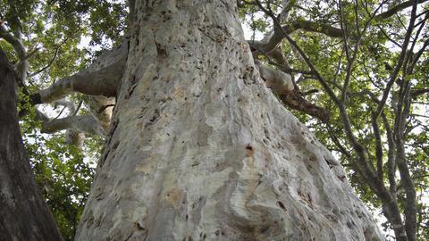 Enormous Tropial Tree with Woodpecker Holes in Sri Lanka. FullHD video Footage