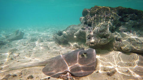 Wild Sting Ray on Ocean Floor in the Maldives. FullHD video Footage