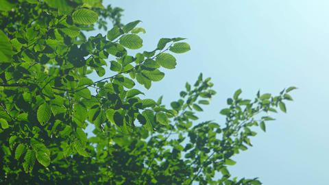Branches of a tree with leaves swaying against the clear sky Footage