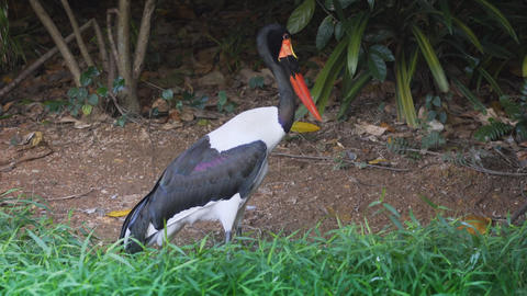 Solitary Saddle Billed Stork. FullHD footage Footage