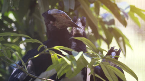 Group of Trumpeter Hornbills in a Tree at the Zoo Footage
