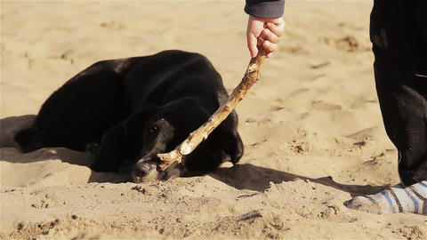 Black Dog Playing With A Stick On The Beach GIF