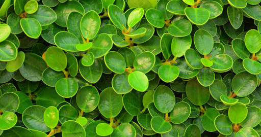 Small Round Leaves of an English Banyan Hedge in Closeup. 4k footage Footage