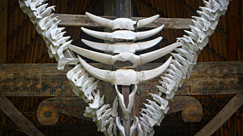 Animal Skulls and Jaw Bones Decorate a Traditional Sulawesi House Live Action