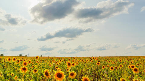 Field of sunflowers in sunny weather. HDR, Backlight Footage