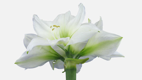 Time-lapse of opening white amaryllis Christmas flower with ALPHA channel Footage