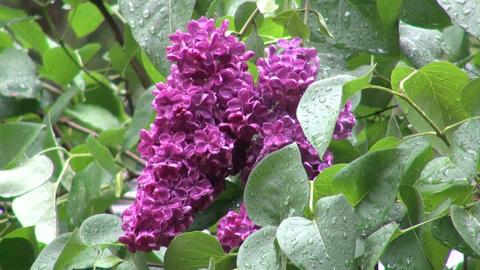 Beautiful purple lilacs in the rain in oregon Footage