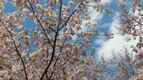 Dc cherry blossoms cloudy sky Live Action