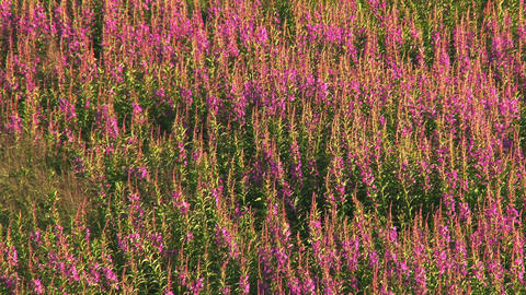 Fireweed blowing gently in breeze Footage