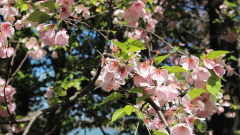 Fluttering blossom petals ビデオ