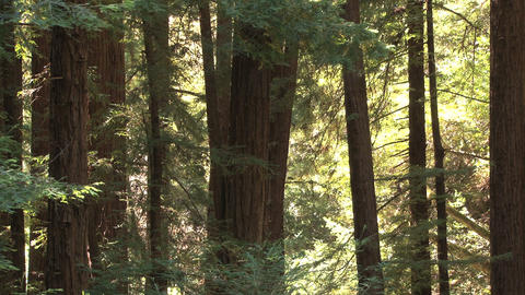 Large trees in forest Live Action