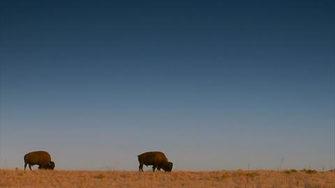 Large bison Footage