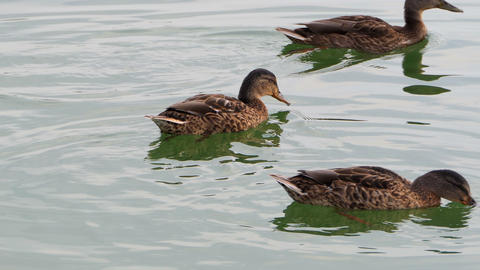 Three brown ducks swim in a lake on a sunny day in slo-mo Footage