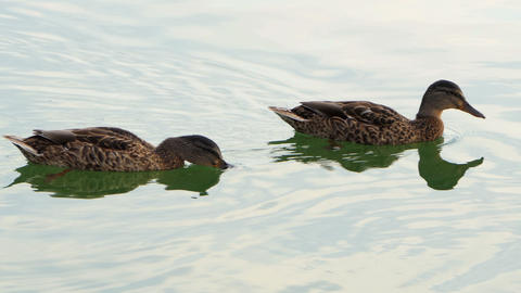 Several brown ducks swim in a lake on a sunny day in slo-mo Footage